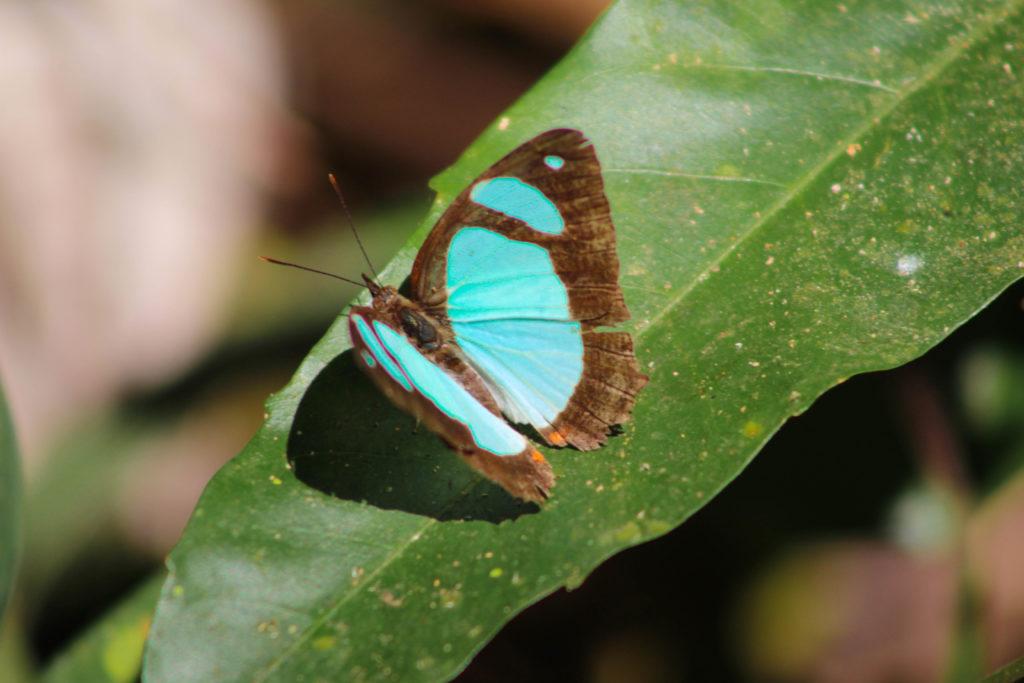 Un des nombreux papillons colorés croisés au Parc National Carara
