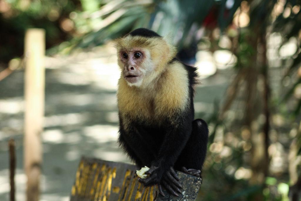 Rencontre avec un singe au Parc Manuel Antonio
