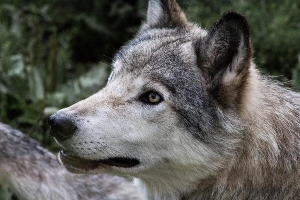 Loups du Parc Oméga
