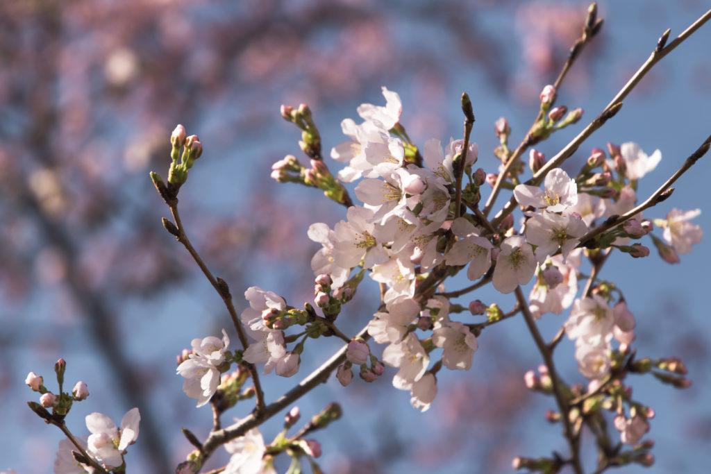 Cherry Blossom Festival à Washington