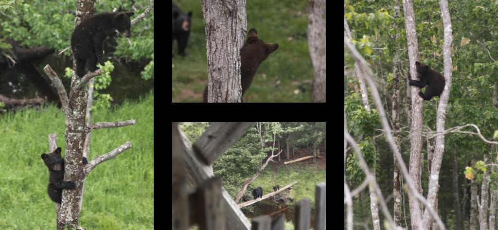 Road trip au Nouveau-Brunswick | Observation des ours